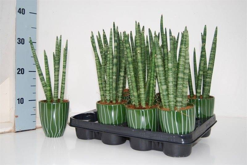 sansevieria spaghetti cylindrica en pot florastore. Black Bedroom Furniture Sets. Home Design Ideas