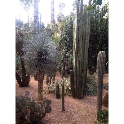 Cactus Kaktus Spalten gemischt: Nur 6 pro Verkauf