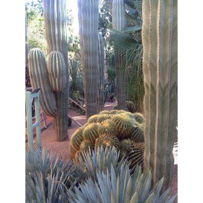 Cactus Zuilen gemengd: alleen per 6 te koop