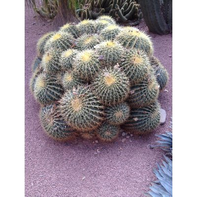 Cactus mixed by 6 for sale