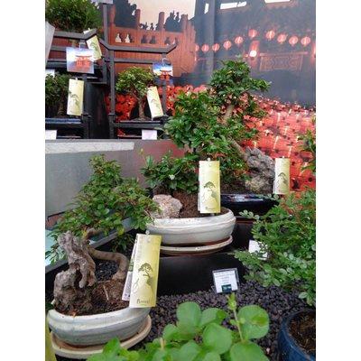 Bonsai Ficus S-Form 15cm