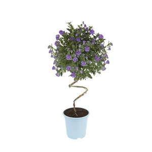 Solanum rantonnetii Twister