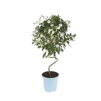 Solanum white Charles Twister