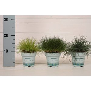 Gras Festuca mixed