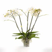 Phalaenopsis 5 tak theatro vertakt, Super!