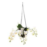 Phalaenopsis Artisto Nouveau weiß dritte Niederlassung in Lernen hangtas