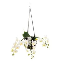 Phalaenopsis Artisto Nouveau Zweig 3