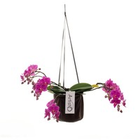Phalaenopsis Art déco 4 branche