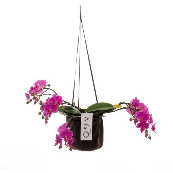 Phalaenopsis Art deco 4 branch