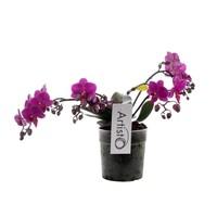 Phalaenopsis Artisto deco vierten Zweig