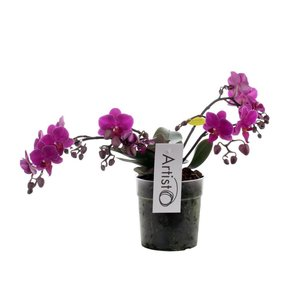 Phalaenopsis Artisto deco 4 branch