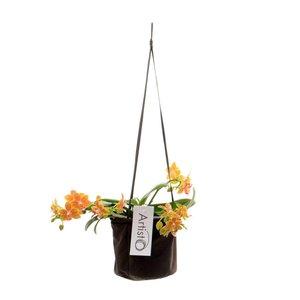 Phalaenopsis Moderne vierte Niederlassung in Lernen hangtas