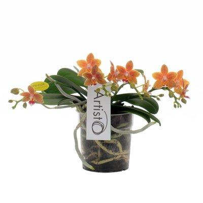 Phalaenopsis Artisto moderne vier Zweig