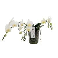 Phalaenopsis Artisto Nouveau third branch