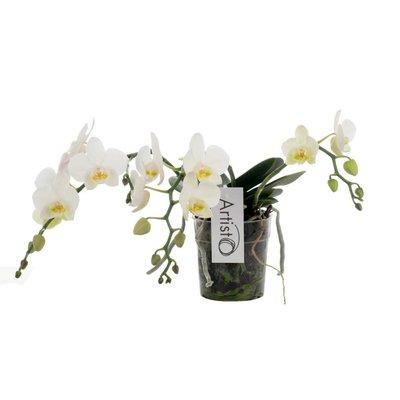 Phalaenopsis Artisto Nouveau dritte Zweig