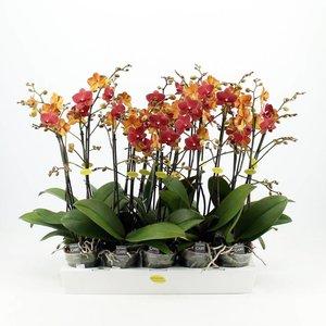 Phalaenopsis 2 Zweig rot