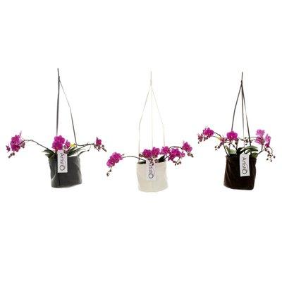 Phalaenopsis Art Deco vierte Zweig