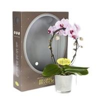 Phalaenopsis mirror miracle roze in cadeauverpakking