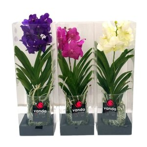 Vanda Michelle 20 in gift box