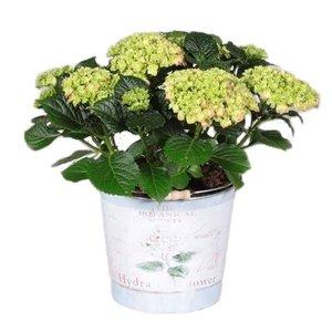 Hydrangea  Rote 7 -12 Blumen im Eimer
