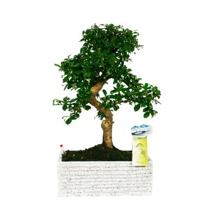 Bonsai Carmona S shape 27 cm Easy care Granite