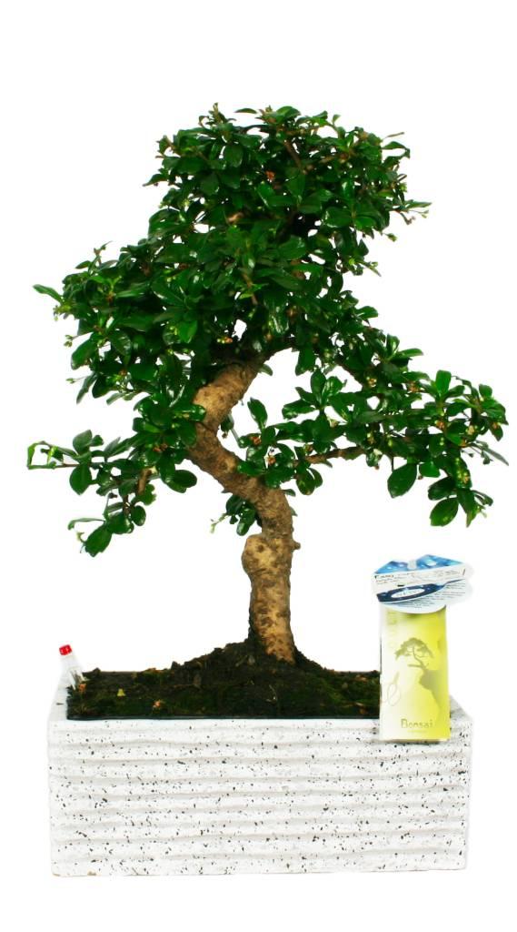 bonsai pflegeleicht pflegeleicht florastore. Black Bedroom Furniture Sets. Home Design Ideas