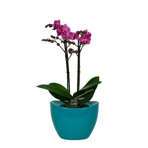Phalaenopsis Multiflora purple