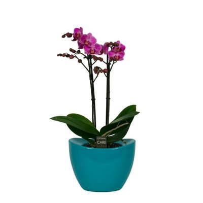 Phalaenopsis Multiflora purple two branches in pot