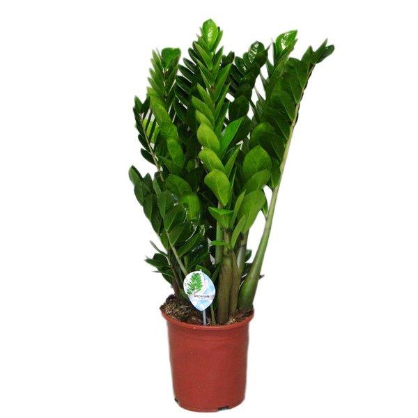 Zamioculcas Met 12 veren, een extra mooie zware plant!