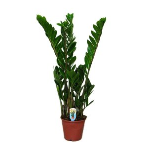 Zamioculcas 5 with feathers
