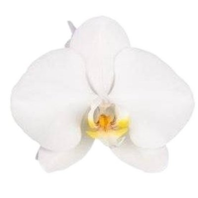 "Phalaenopsis Grandiflora ""Tsarine®"" 3 branches 28 + flower white"
