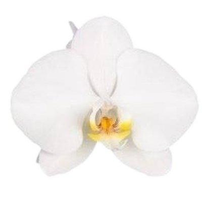 """Phalaenopsis Grandifloraorchidee """"Tsarine®"""" 3 Zweig 28 + Blume weiß"""