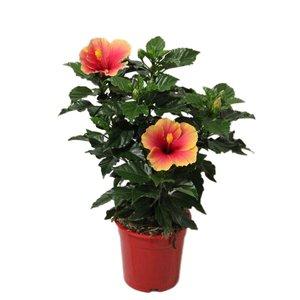 Hibiscus Seppe