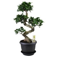 Bonsai Ficus Ginseng S-Form + Untertasse