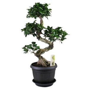 Bonsai Ficus ginseng S-shape in antraciet pot 25 cm + schotel
