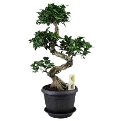 Bonsai Bonsai Ficus ginseng S-shape in antraciet pot 25 cm + schotel