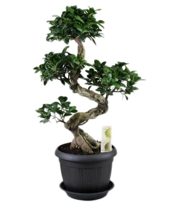bonsai ficus ginseng s form untertasse florastore. Black Bedroom Furniture Sets. Home Design Ideas