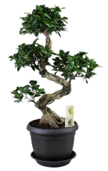 Bonsai Ficus ginseng en forme de S + soucoupe - FloraStore