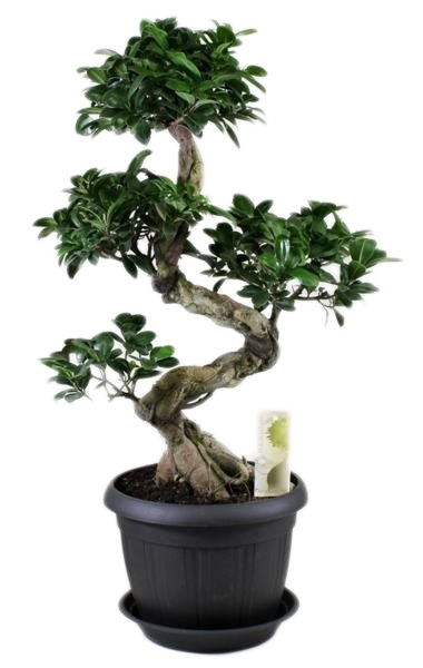 bonsai ficus ginseng s shape saucer florastore. Black Bedroom Furniture Sets. Home Design Ideas
