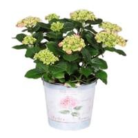 Hydrangea  Roze 7 -12 bloemen in emmer