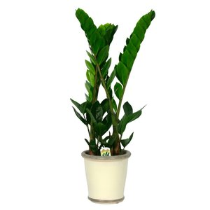 Zamioculcas an exceedingly strong plant