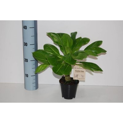 brighamia insignis auch genannt hawaii palm florastore. Black Bedroom Furniture Sets. Home Design Ideas