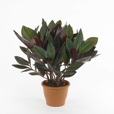 Costus Ruby Green