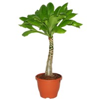 Brighamia Insignis (Hawaiian Palm) XL