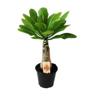 Brighamia Insignis (Palm Hawaii)
