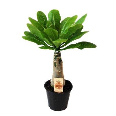 Brighamia Insignis (Hawaiian Palm)