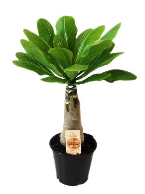 brighamia insignis auch genannt hawaii palm florastore. Black Bedroom Furniture Sets. Home Design Ideas