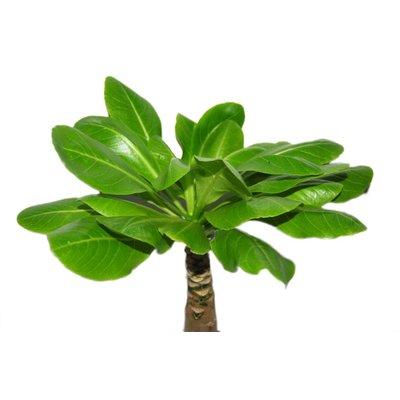 Brighamia Insignis (Hawaii-Palme)