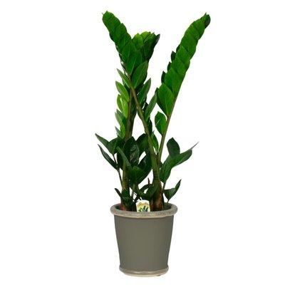 Zamioculcas eine überaus starke Pflanze