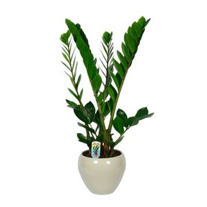 Zamioculcas 4 feathers in pot - Copy